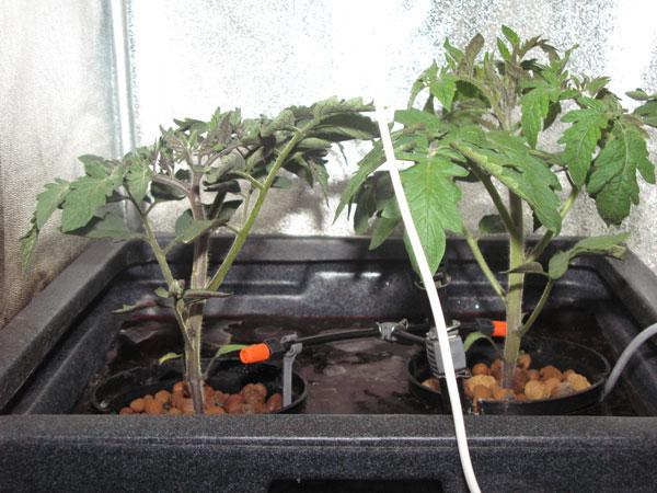 Гидропоника рассады томатов 12