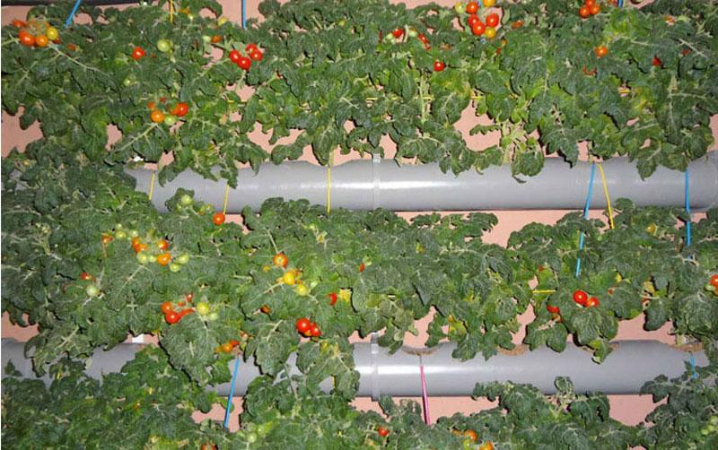 Несколько дней назад один из моих клиентов прислал фотографии плодоносящих растений на вертикальной установке.