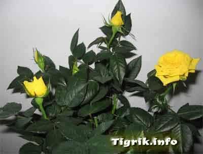 гидропоника роза