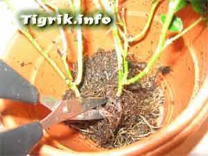 корни роза гидропоника