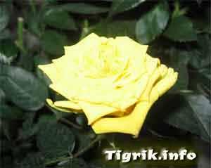 гидрокультура роза