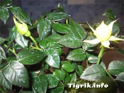Болезни роза комнатная
