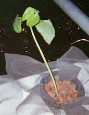 Выращивание растений на гидропонике. #5
