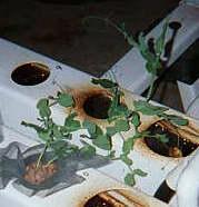 Выращивание растений на гидропонике. #6