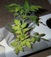 Выращивание растений на гидропонике. #9
