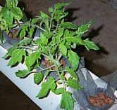 Выращивание растений на гидропонике. #10