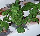 Выращивание растений на гидропонике. #13