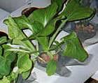 Выращивание растений на гидропонике. #15