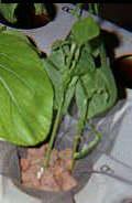 Выращивание растений на гидропонике. #21