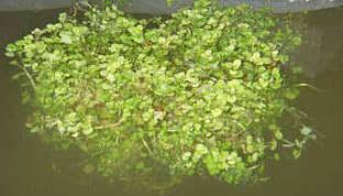 Выращивание растений на гидропонике. #24